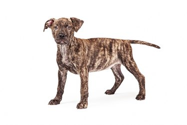 Cute Brindle Coat Puppy Standing