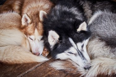 Two siberian husky sleeping side by side