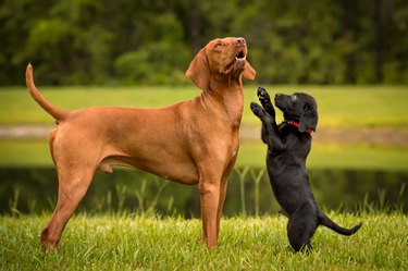 Lab puppy playing with Vizsla