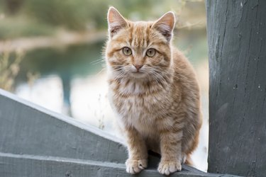 Portrait of a light coloured kitten sitting on a fence looking at the camera
