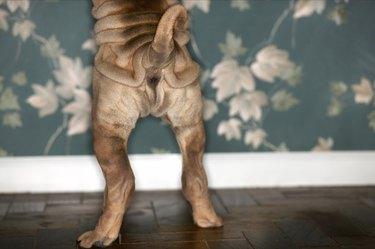 Shar-Pei Standing on Hind Legs