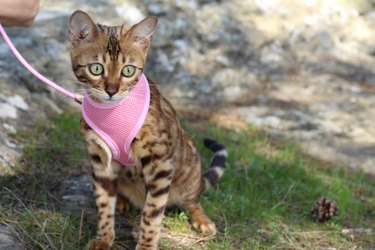 Stunning pedigreed Bengal cat outdoors