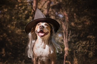 Cute dog with broomstick dressed up for halloween as friendly forest witch.