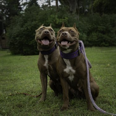 Pitbull sitting on grass with their tongues out