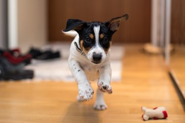 Young terrier dog running in house