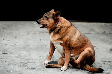 Fat dog sitting.