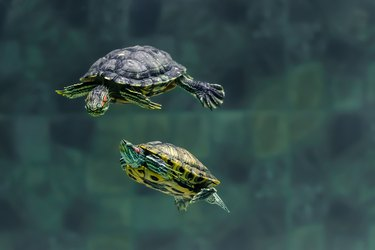Two turtles swim in an aquarium of the zoo