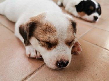 Close-Up Of Puppy Sleeping On Floor. Aramis