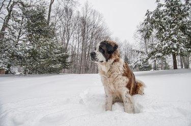 Saint Bernard in the Snow Stock Photo, Great Falls, Virginia.