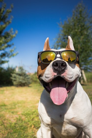 American staffordshire terrier dog wearing sunglasses