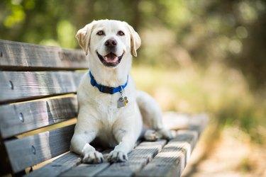 Labrador Retriever Dog Smiles on Bench Outdoors