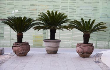 Three potted Sago palms at the end of the footpath