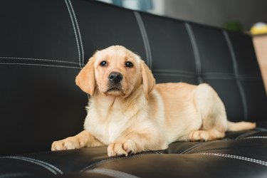 Closeup view of beige puppy lying on leather couch