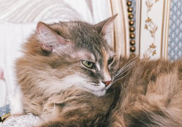 Gray long hair domestic cat on the couch