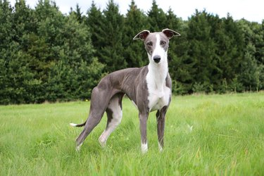 whippet portrait in the park