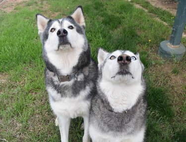 Two Huskies Sitting in the Grass