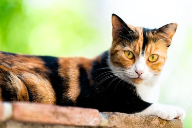 Calico cat face closeup outside with green orange eyes looking at camera in garden lying down on brick wall with black and white fur and bokeh blurry background in Perugia, Umbria Italy