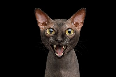 Funny Sphynx Cat on isolated black background