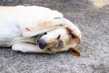 Shy dog was hiding its face - Thai dog