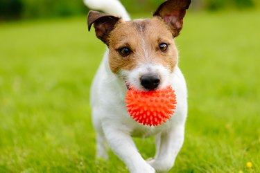 Close up of dog running and playing fetch with orange ball toy