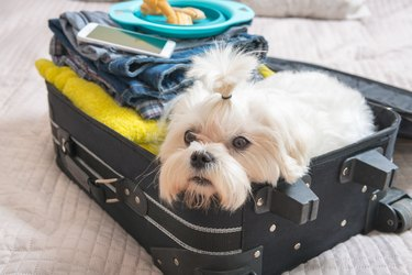 Dog sitting in the suitcase