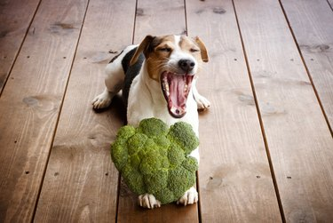 Jack russell terrier dog with broccoli.