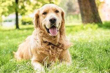 Portrait of beautiful Golden Retriever lying in the grass
