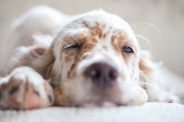 Pictures of English Setter puppies.