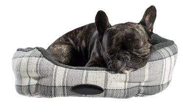 French bulldog sleep in bed