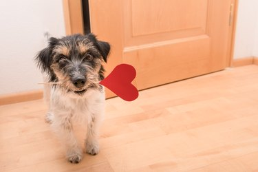 Romantic dog - jack russell terrier