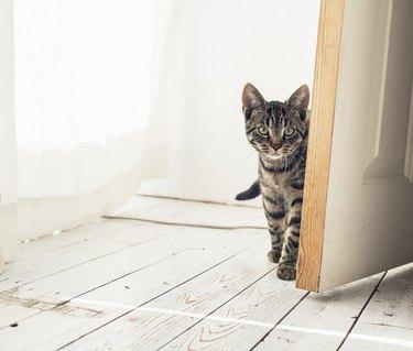 Tabby cat looking around open door.