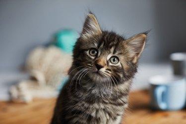 Kitten looking up towards the camera