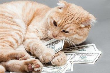 orange cat eating money