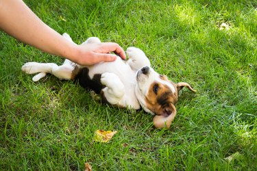 Beagle puppy lies on his back with person rubbing his belly