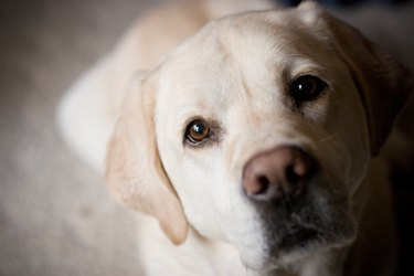 Blonde Labrador Retriever Looking at Camera Room for Copy
