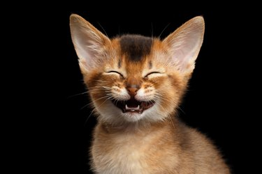 Abyssinian Kitty on Isolated Black Background