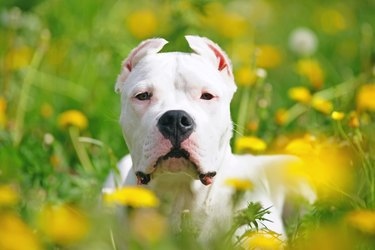 The portrait of a young Dogo Argentino dog with cropped ears lying in dandelions