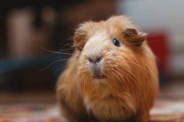 Portrait of red guinea pig, close up.