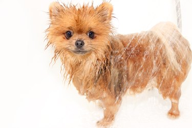 Pomeranian dog taking a shower with soap and water.