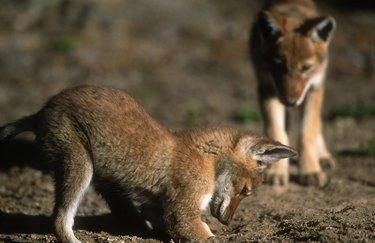 Ethiopian Wolf Pups Digging