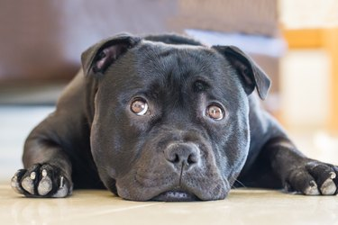 Staffordshire Bull Terrier lying down with eyes looking up