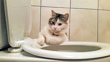 Cat On Toilet Bowl Against Wall