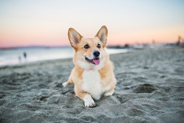Corgi Relaxing on Beach at Sunset