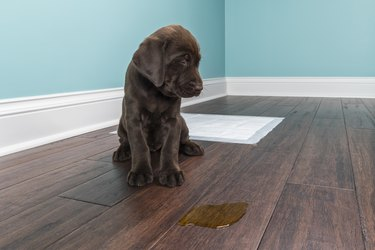 A Chocolate Labrador puppy grimacing next to pee on wood floor - 8 weeks old