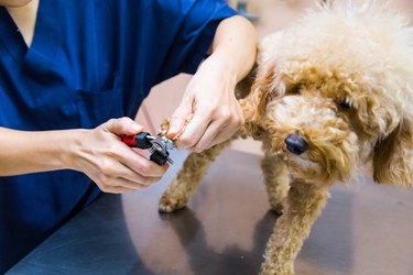 Vet trim cut dog nails at clinic
