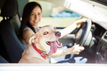 Beautiful dog on a car ride