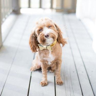 Happy dog with bow tie