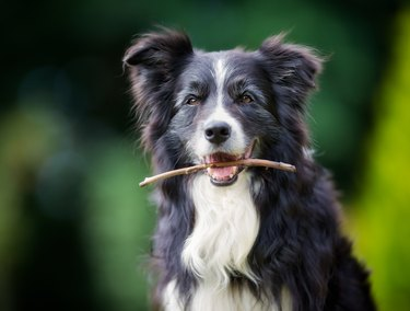Border collie dog with stick in mouth