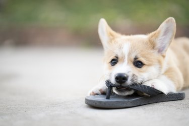 Welsh corgi dog pembroke puppy playing or bite owners shoes or flip flop