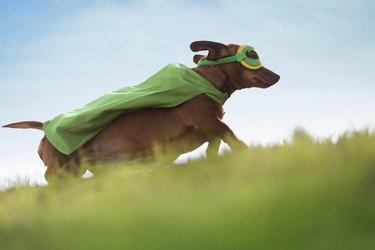Superhero Dachshund dog running up hill